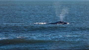 Rare North Atlantic right whale spotted off the coast of Crescent Beach
