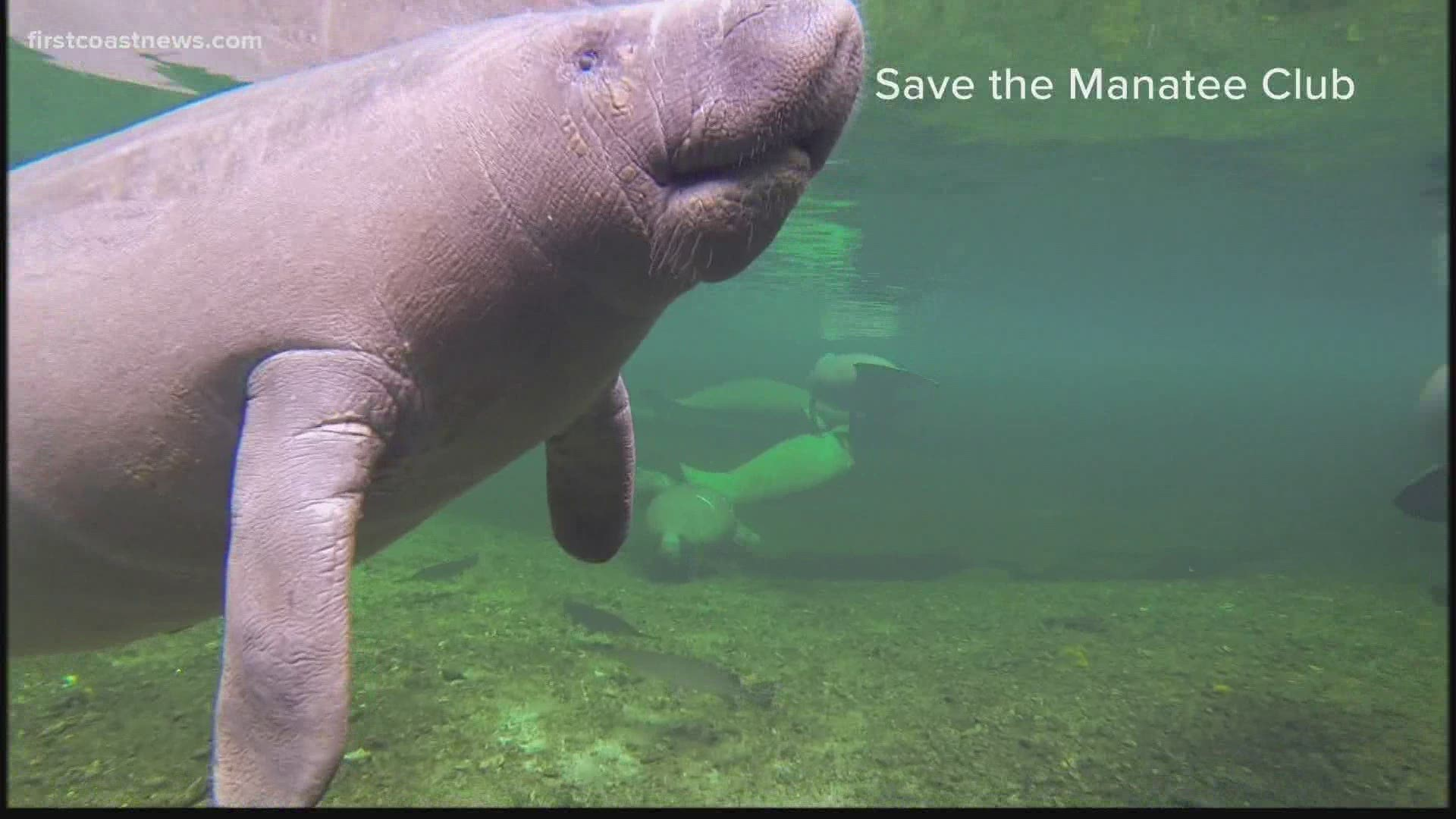 Pandemic Leads To More Boaters Higher Deaths For Manatees Firstcoastnews Com