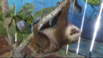 WATCH: New sloth exhibit opens at St. Augustine Alligator Farm