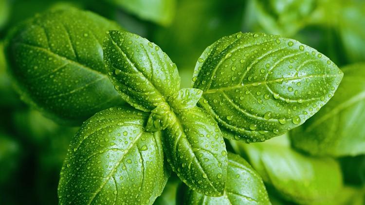 Fresh basil from Mexico linked to intestinal sickness, FDA warns