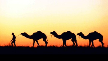 Up to 10,000 camels will be shot and killed in Australia