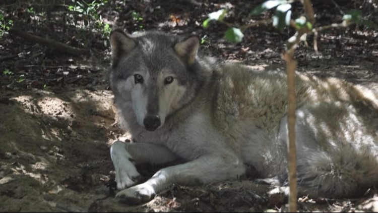 Wolf missing after Hurricane Michael recovered in Florida