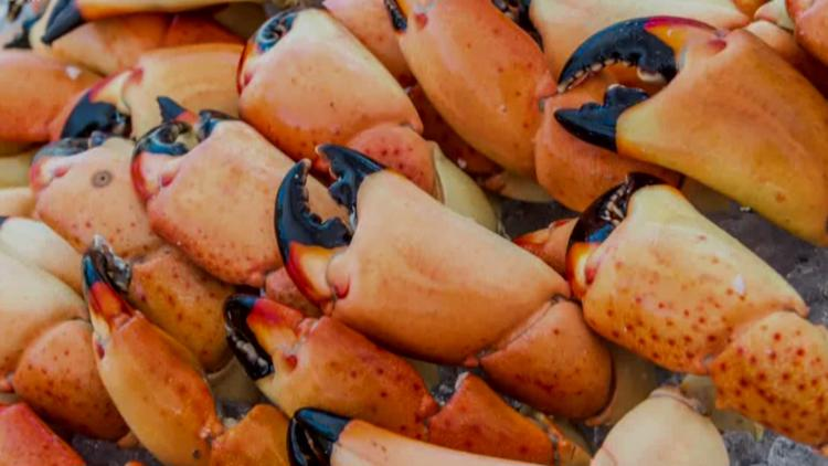 Stone crab season is here: What you need to know