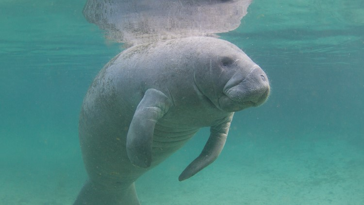 Red tide thought to be cause of manatee deaths in Tampa Bay area