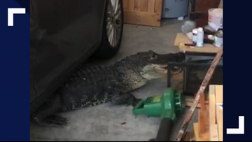Video: Gator rescued and released after getting trapped under car